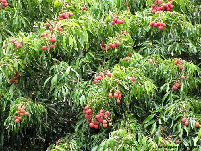 Личи — вкусный и нежный фрукт Китая: как и с чем его едят